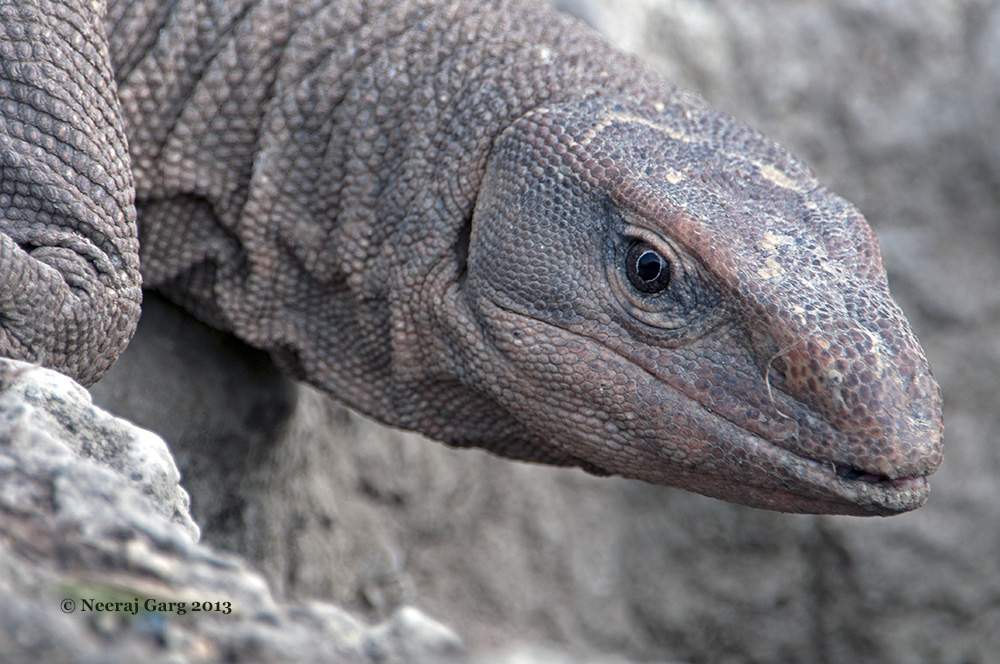 The Monitor Lizard
