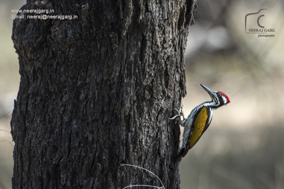 Flame-back Woodpecker
