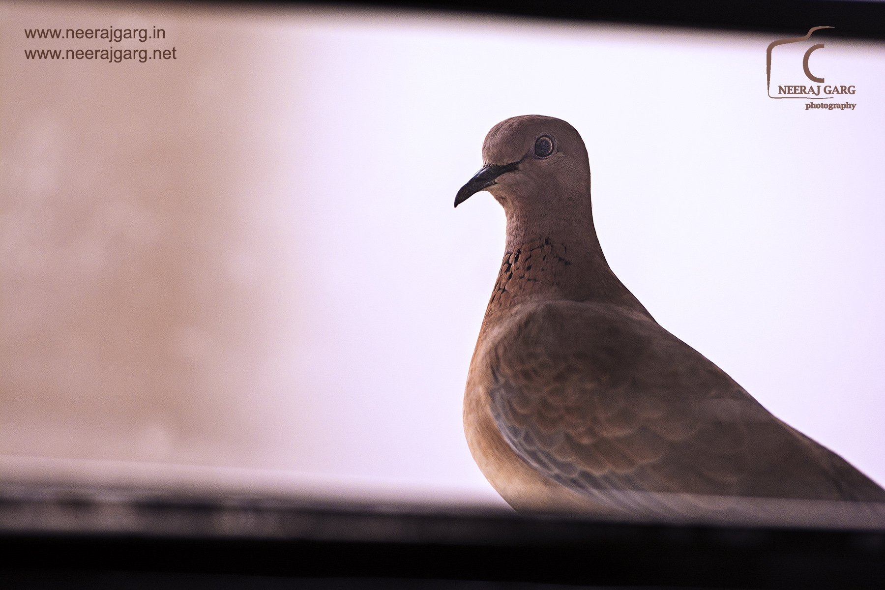 Sub-adult Spotted Dove...