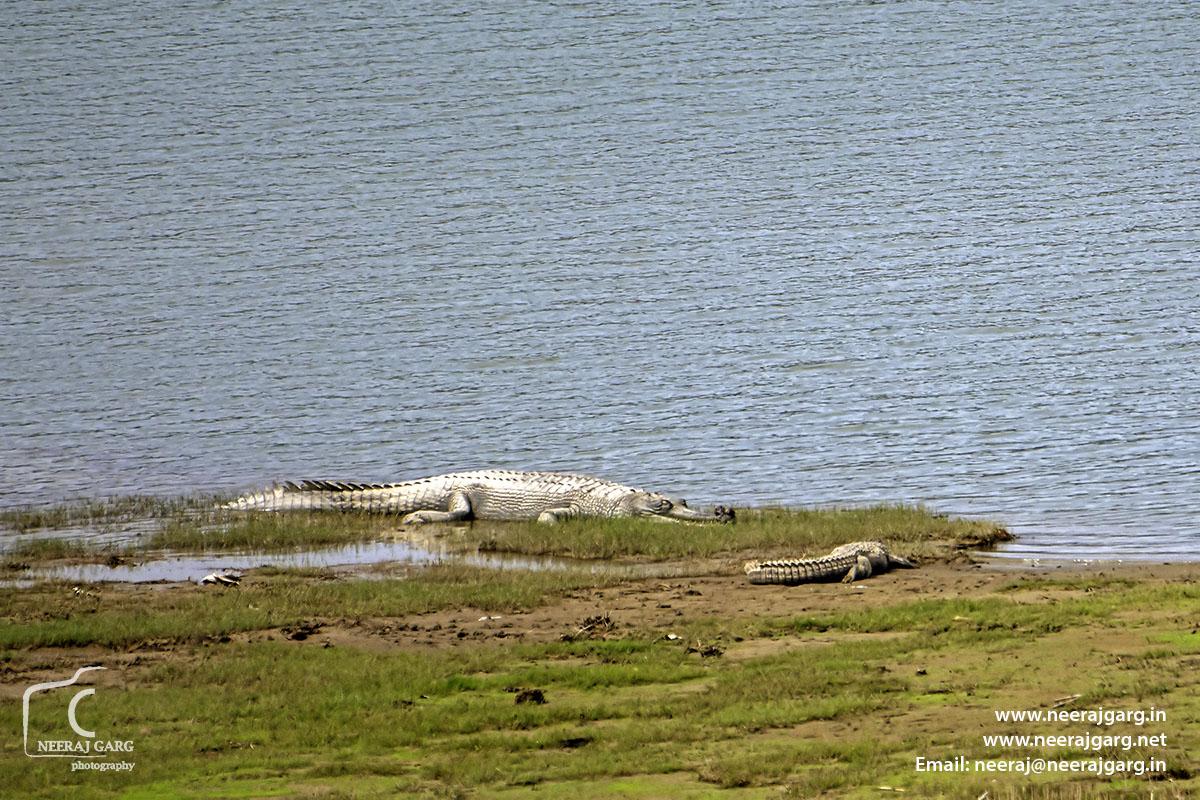 The Alligator ~ Ghariyal