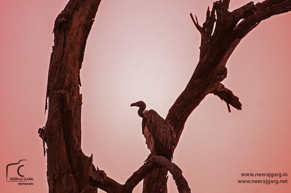 Long billed/ Slender Billed Vulture