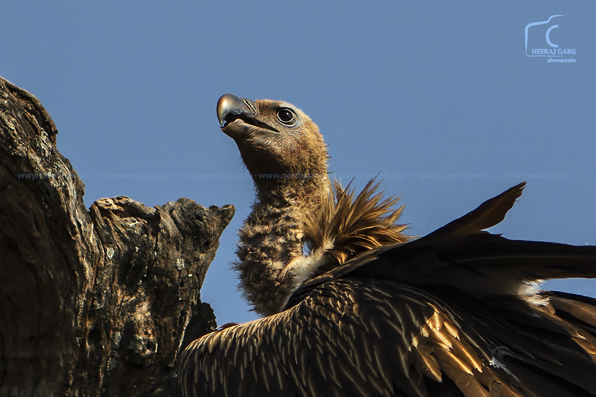Portrait - Slender Billed Vulture